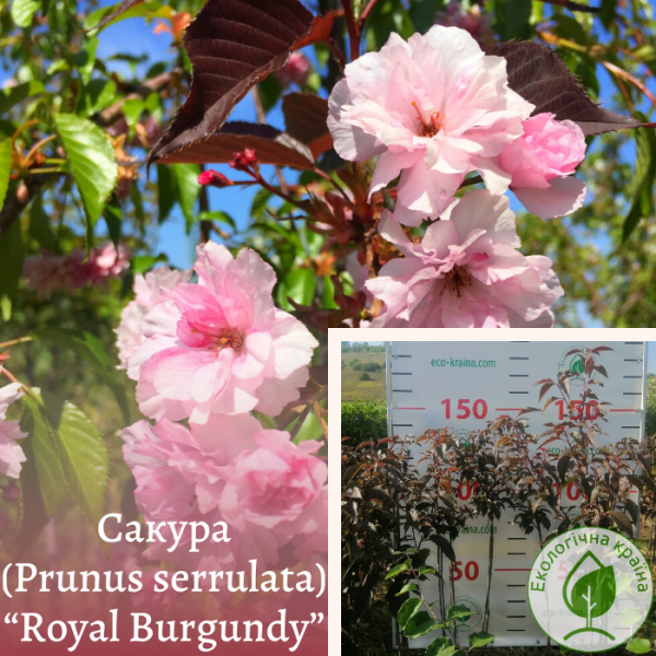 "Сакура (Prunus serrulata) ""Royal Burgundy"" 1-1,2 м - ЕКО-КРАЇНА"