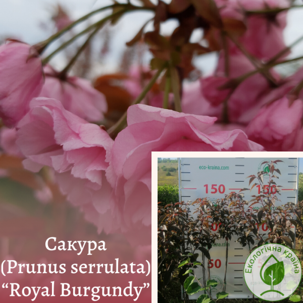 "Сакура (Prunus serrulata) ""Royal Burgundy"" 1,3-1,5 м - ЕКО-КРАЇНА"