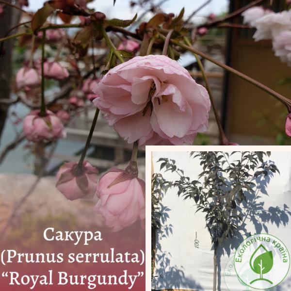 "Сакура (Prunus serrulata) ""Royal Burgundy"" 1,5-2 м - ЕКО-КРАЇНА"
