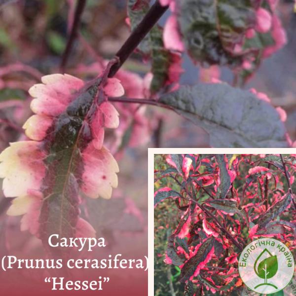 "Сакура (Prunus cerasifera) ""Hessei"" 0,4-0,7 м - розплідник ЕКО-КРАЇНА"