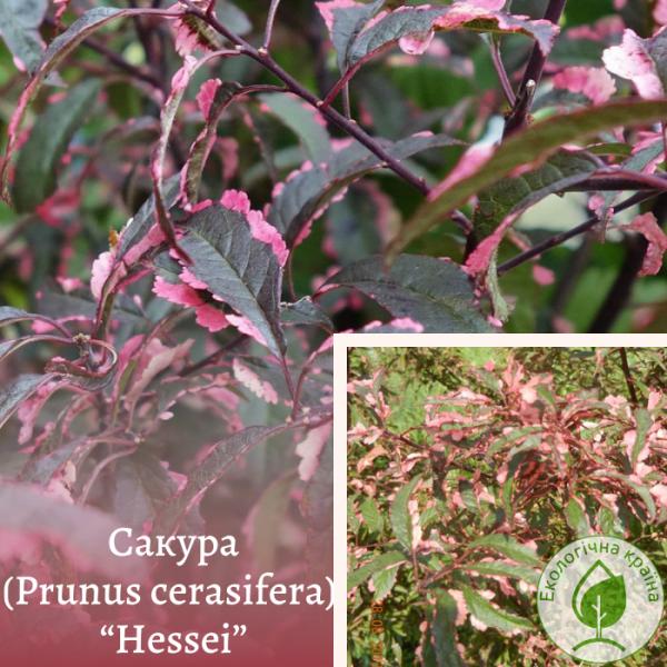 "Сакура (Prunus cerasifera) ""Hessei"" 1,3-1,5 м - розплідник ЕКО-КРАЇНА"