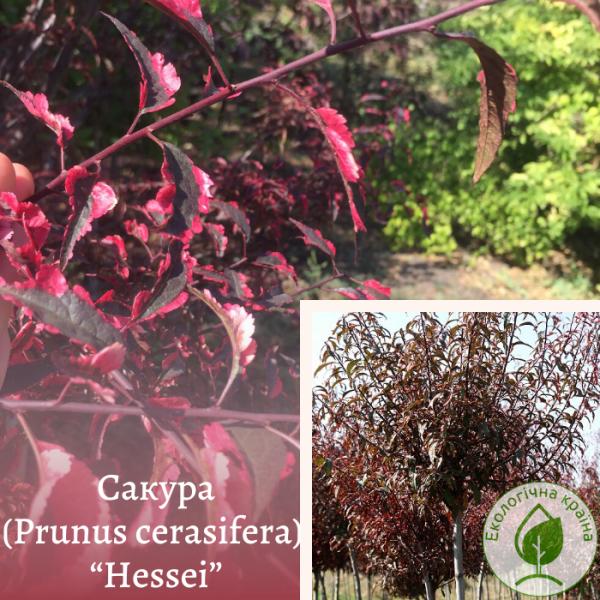 "Сакура (Prunus cerasifera) ""Hessei"" 2-2,5 м (штамб) - ЕКО-КРАЇНА"