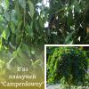 "В'яз плакучий ""Camperdowny"" 1,6-1,8 м - садовий центр ЕКО-КРАЇНА"