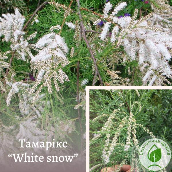 "Тамарікс ""White snow"""