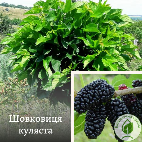 Шовковиця куляста - розсадник і садовий центр ЕКО-КРАЇНА