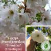 "Сакура (Prunus serrulata) ""Shimidsu"" (Shirofugen) 2-3 м - ЕКО-КРАЇНА"