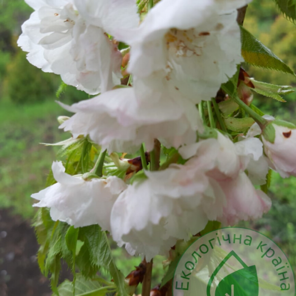 "Сакура (Prunus serrulata) ""Shimidsu"" (Shirofugen) 1-1,3 м - ЕКО-КРАЇНА"