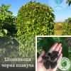 Шовковиця чорна плакуча - ЕКО-КРАЇНА