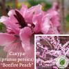 """Сакура (prunus persica) """"Bonfire Peach"""" 1,3-1,5 м - ЕКО-КРАЇНА"""