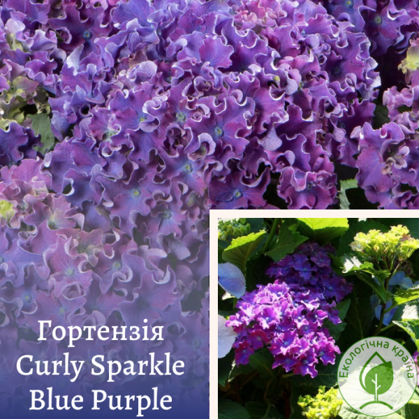 Гортензія Curly Sparkle Blue Purple - розсадник ЕКО-КРАЇНА