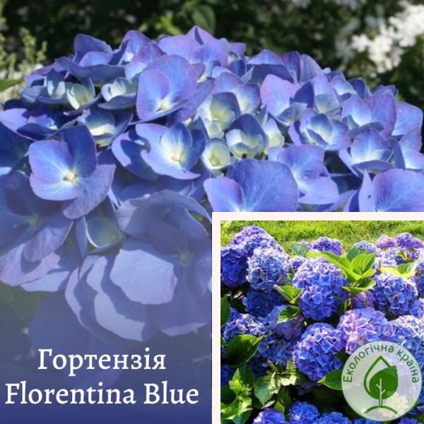 Гортензія Florentina Blue - розсадник ЕКО-КРАЇНА