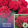 Гортензія Royal Red - розсадник ЕКО-КРАЇНА