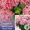 Гортензія Saxon Candy Heart Pink - розсадник ЕКО-КРАЇНА