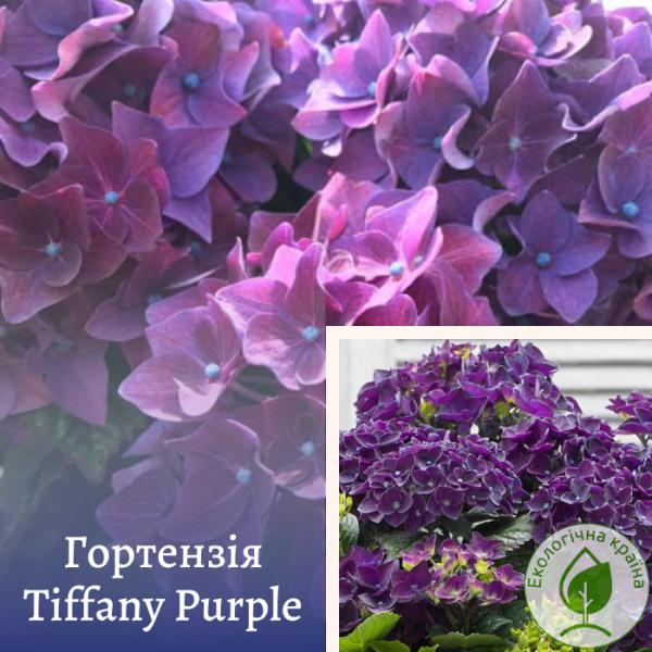 Гортензія Tiffany Purple - розсадник ЕКО-КРАЇНА