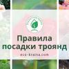 Правила посадки троянд від ЕКО-КРАЇНА