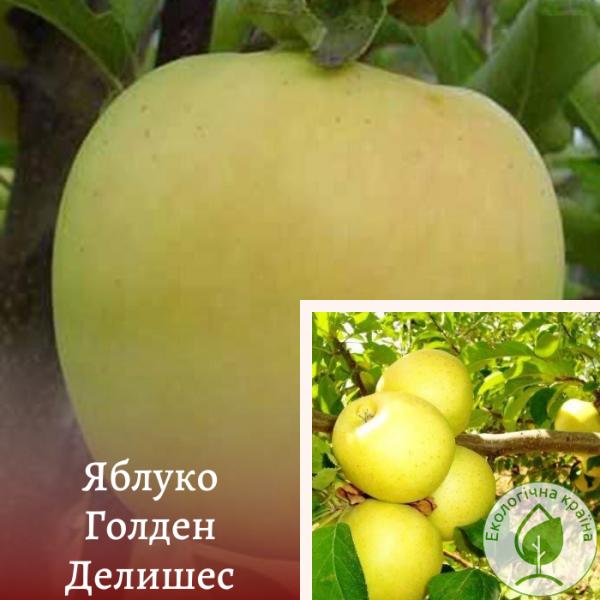 "Яблуня ""Голден Делишес"" - інтернет-магазин ЕКО-КРАЇНА"