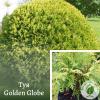Туя Golden Globe: купити в розсаднику ЕКО-КРАЇНА