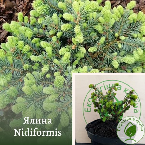 Ялина Nidiformis (Ніфідорміс): купити в розсаднику ЕКО-КРАЇНА