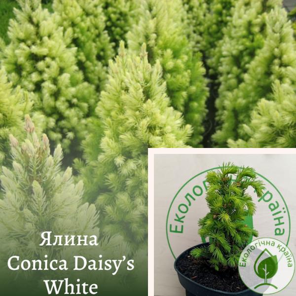 Ялина Conica Daisy's White: купити в розсаднику ЕКО-КРАЇНА