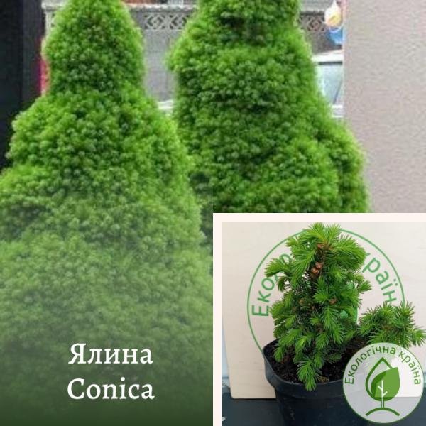 Ялина Conica: купити в розсаднику ЕКО-КРАЇНА