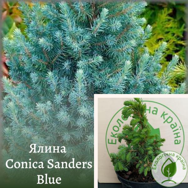 Ялина Conica Sanders Blue: купити в розсаднику ЕКО-КРАЇНА