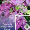 Гортензія Curly Sparkle Purple - розсадник ЕКО-КРАЇНА