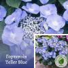 Гортензія Teller Blue - розсадник ЕКО-КРАЇНА