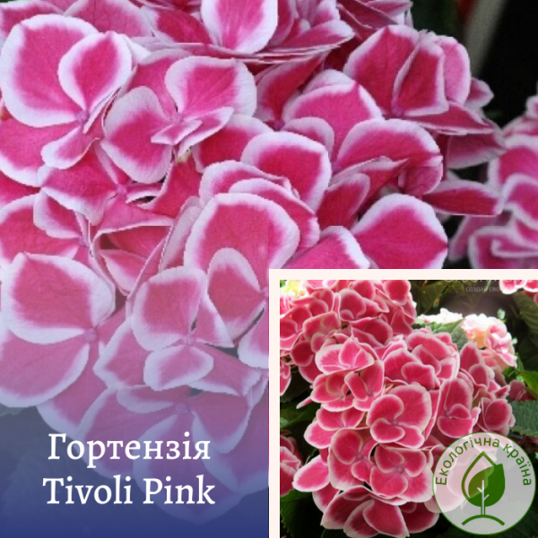 Tivoli Pink