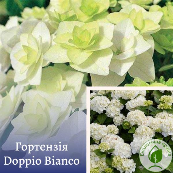 Гортензія Doppio Bianco - розсадник ЕКО-КРАЇНА