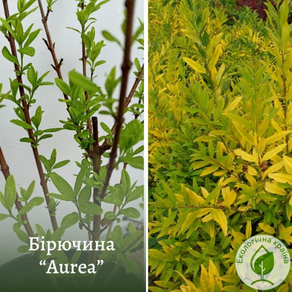"""Бірючина (Ligustrum vulgare) """"Aurea"""" в с3"""
