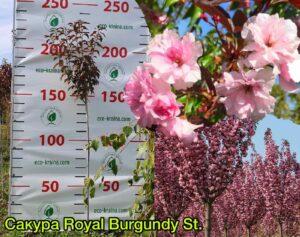"Сакура (Prunus serrulata) ""Royal Burgundy"" с7"
