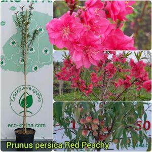 "Сакура (prunus persica) ""Red Peachy"" 1,3-1,5 м"