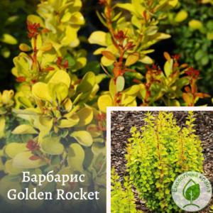 Барбарис Golden Rocket