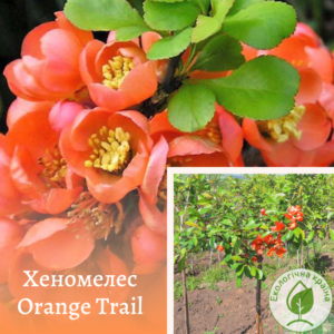 "Хеномелес на штамбі ""Orange Trail"" ВКС 1,8 м"