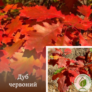 "Дуб червоний ""Quercus Rubra"""