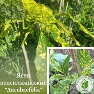"""Ясен пенсильванський """"Aucubaefolia"""" 1,5-1,8 м"""