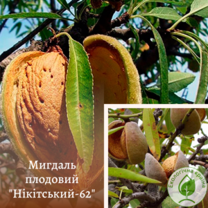 Мигдаль плодовий Нікітський-62