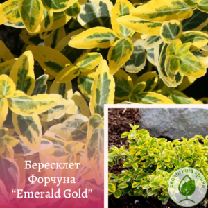 "Бересклет Форчуна ""Emerald Gold"" D 0,5-0,7м"
