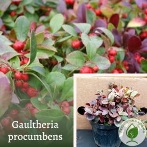 Гаультерія (Gaultheria procumbens)
