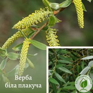 "Верба біла плакуча ""Salix alba"", С7"