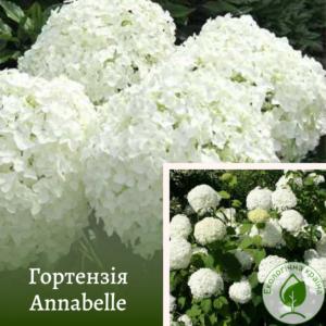 Гортензія Annabelle с3 (з квітами)