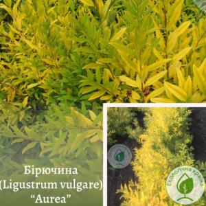 """Бірючина (Ligustrum vulgare) """"Aurea"""" 0,5 м"""