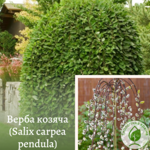 Верба козяча (Salix carpea pendula) 1,6-1,8 м (ком)