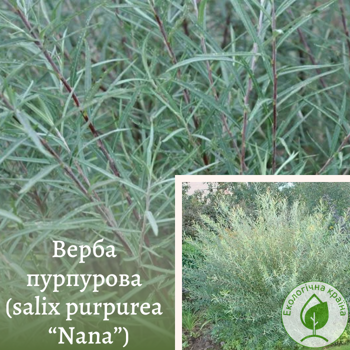 "Верба пурпурова (salix purpurea ""Nana"") ВКС, 0,5 м"