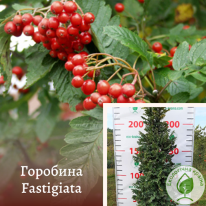 Горобина Fastigiata крупномір 1,8-2,2 м