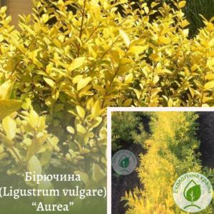 """Бірючина (Ligustrum vulgare) """"Aurea"""" 0,7-1 м"""