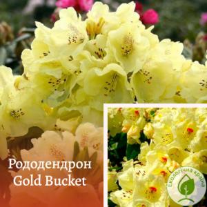 "Рододендрон ""Gold bucket"" с7"