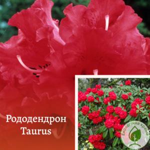 "Рододендрон ""Taurus"" с7"
