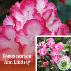 "Рододендрон ""ANN LINDSAY"""