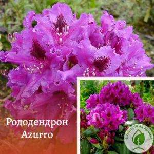 """Рододендрон """"Azurro"""" с7"""